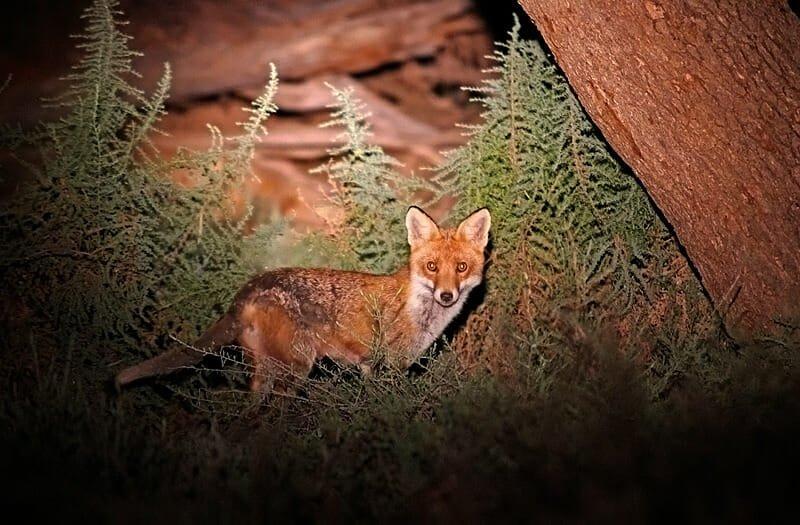 Mammals of Australian Outback - feral fox