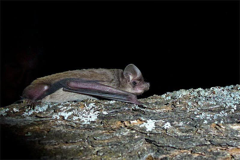 Mammals of Australian Outback - Inland freetail bat