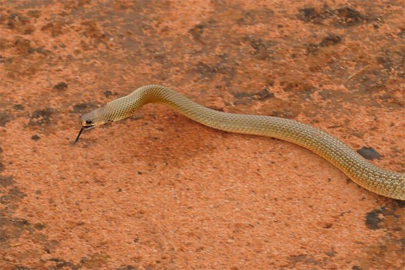 Juvenile mulga