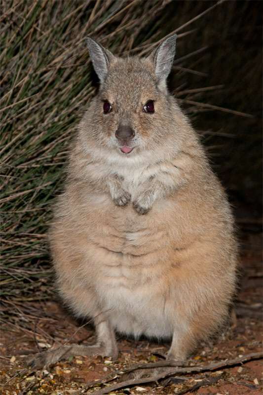 Mammals of Australian Outback - Rufus hare wallaby (Mala)