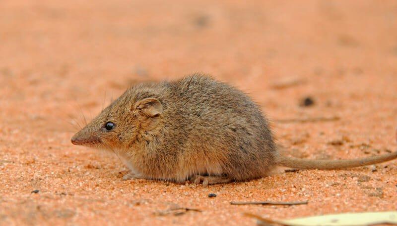 Mammals of Australian Outback - Mallee ningaui