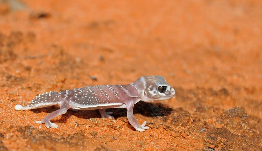 Reptiles of Australian Outback - Knob-tailed gecko