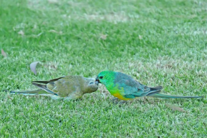 Red-rumped grass parrot