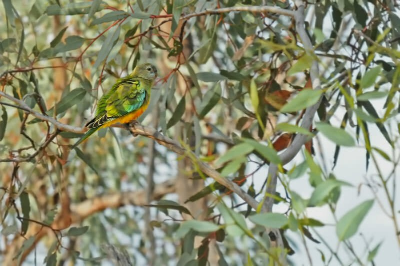 Birds of Australian Outback - Scarlet-chested parrot