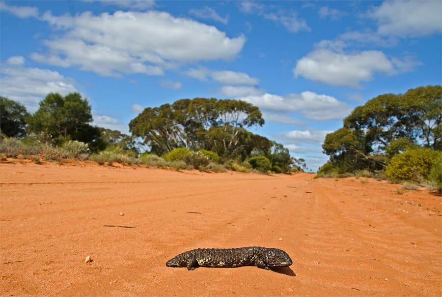 Australian skinks - Shingleback
