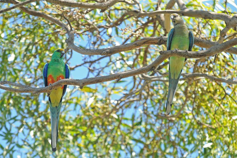 Wildlife of Eyre Peninsula - Mulga parrots
