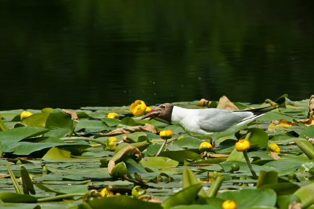 Birds of Moscow - Black-headed gulls