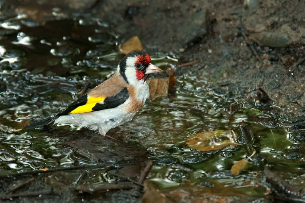 Birds of Moscow - European goldfinch