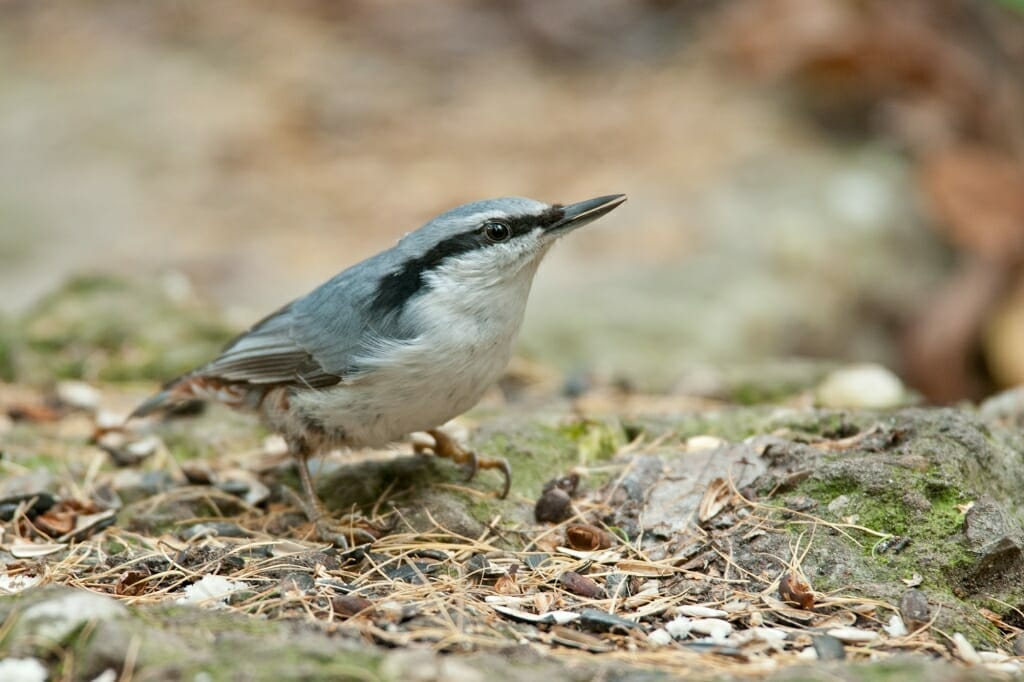 Moscow parks wildlife - European nuthatch