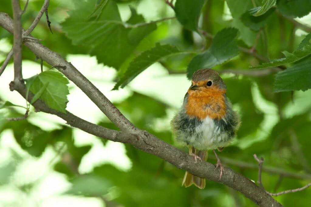 Birds of Moscow - European robin