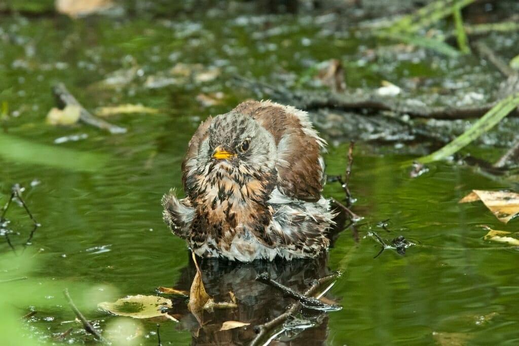 Birds of Moscow: Fieldfare
