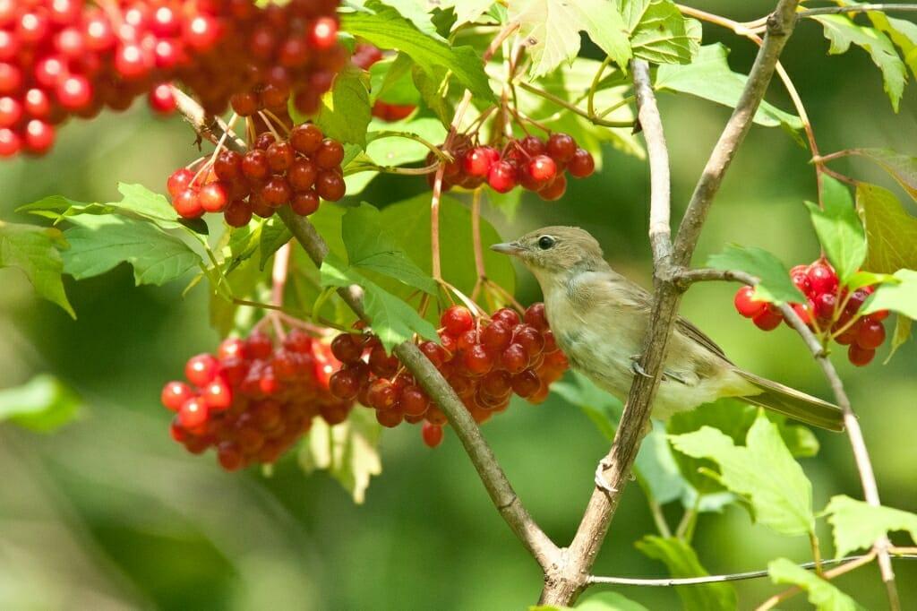 Birds of Moscow - Garden warbler