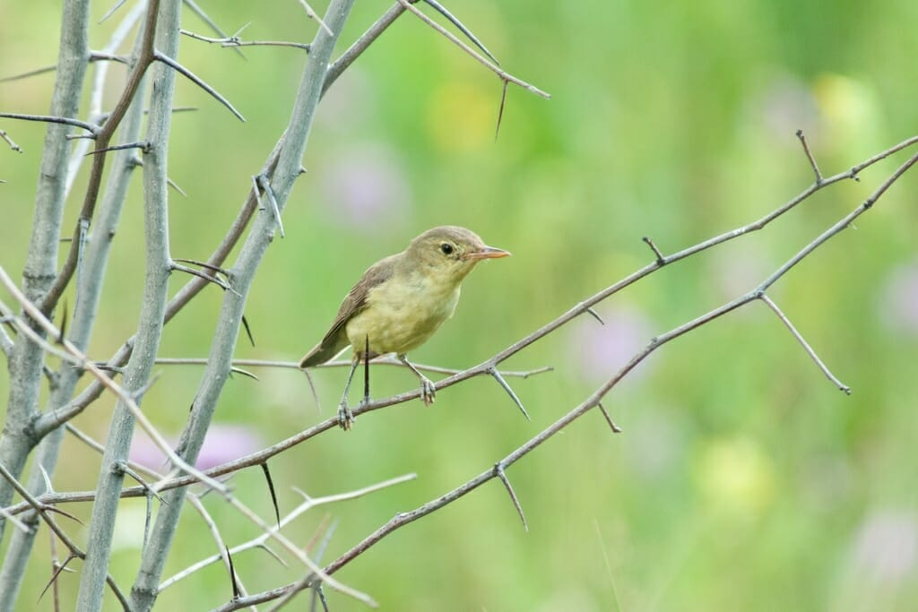 Birds of Moscow - Icerine warbler