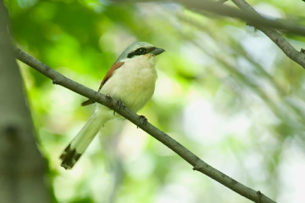 Birds of Moscow - Red-backed shrike