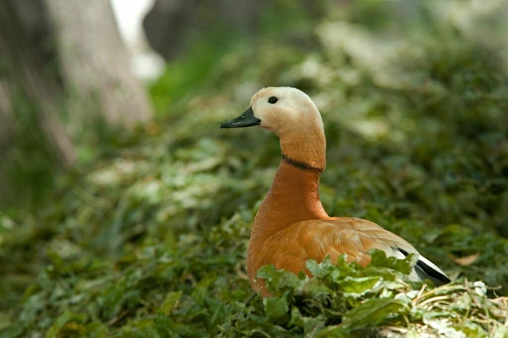 Ruddy shell duck at Chisti Prudi