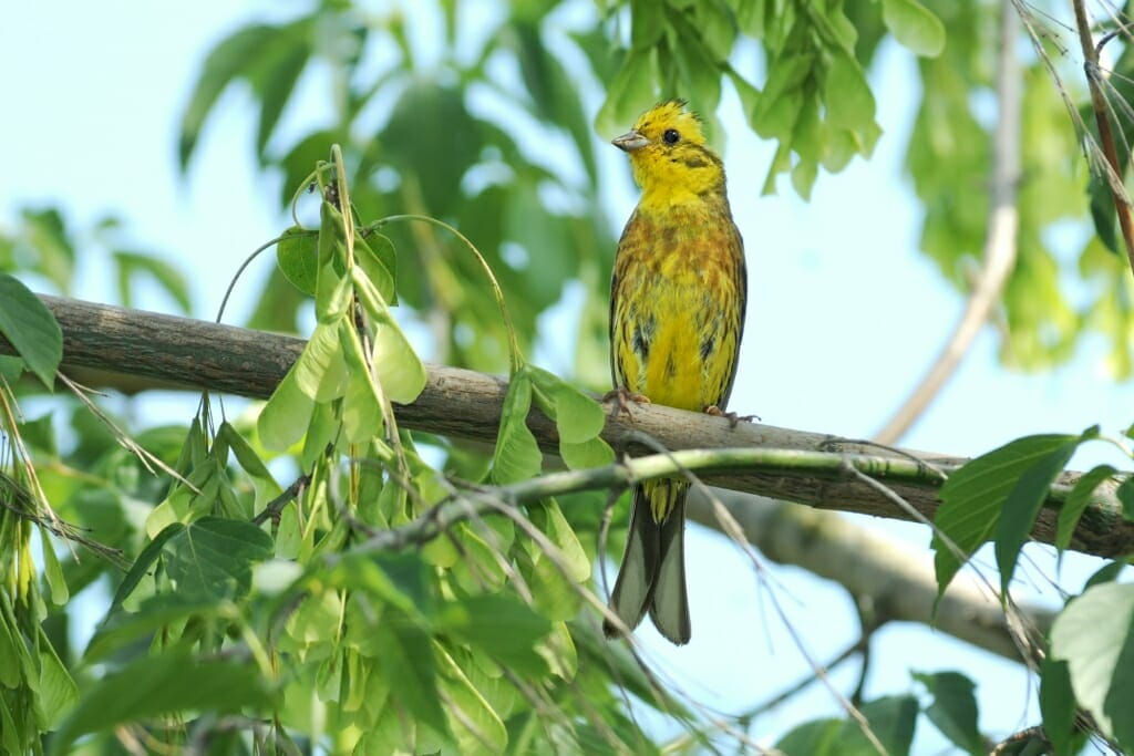 Birds of Moscow - Yellowhammer