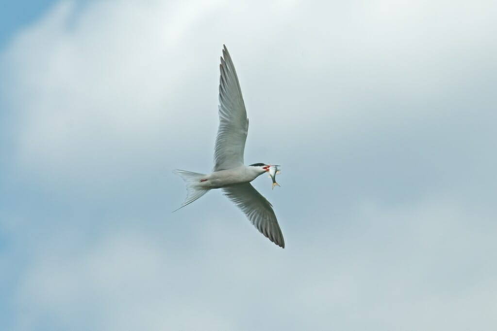 Birds of Moscow - Common tern
