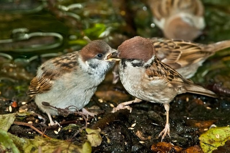 Sparrow feeding its chick