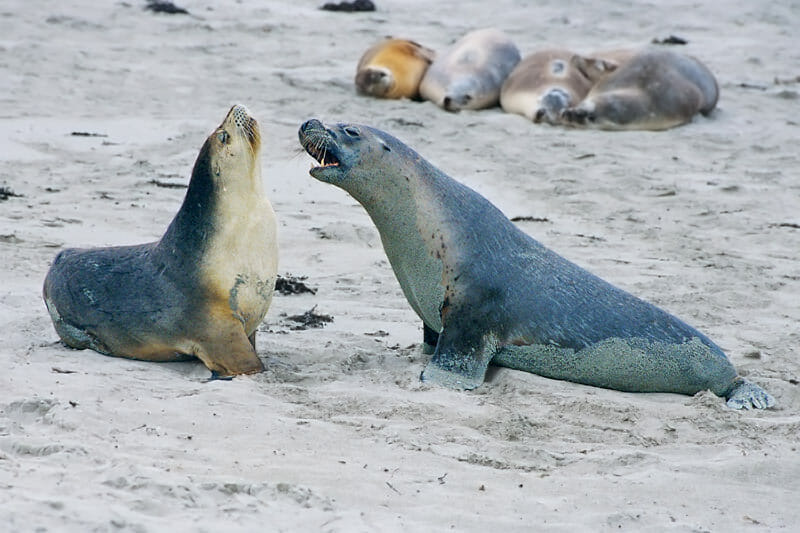 Wildlife of Kangaroo Island - Australian sea lions