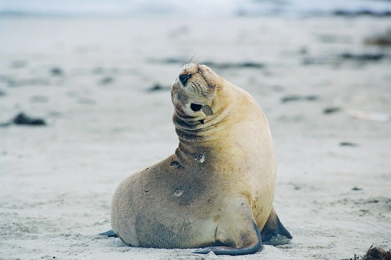 Wildlife of Kangaroo Island - Australian sea lion