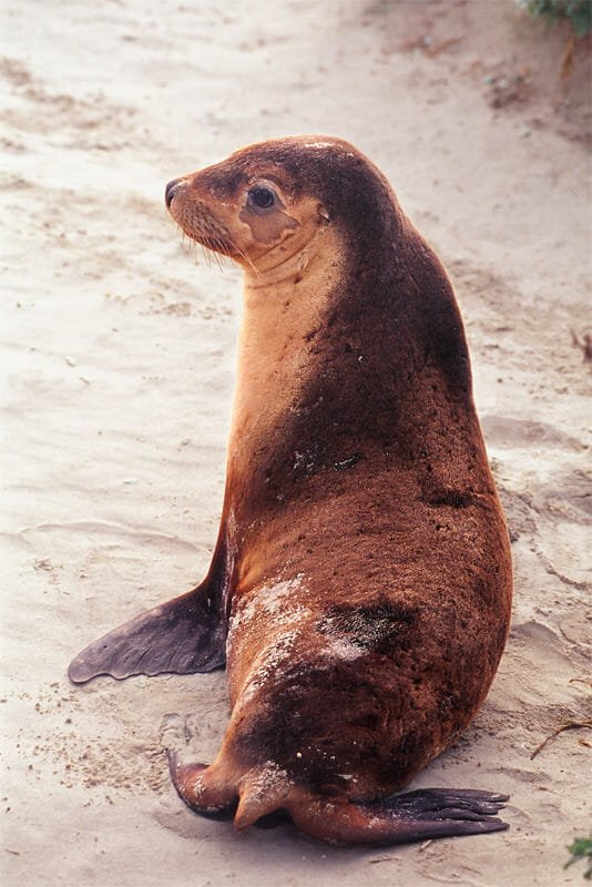 Wildlife of Kangaroo Island - Australian sea lion pup