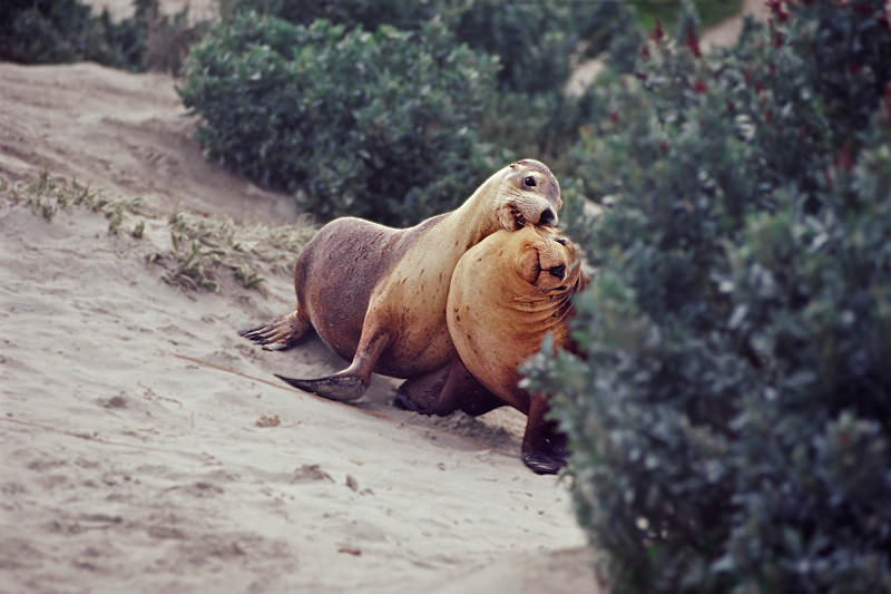Wildlife of Kangaroo Island - Young Australian sea lions