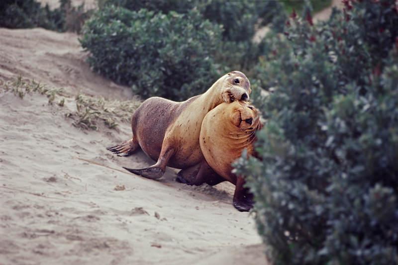 Young Australian sea lions