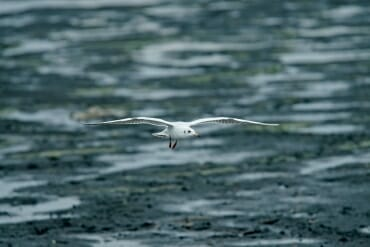 International Birdwatching Day - black-headed gull