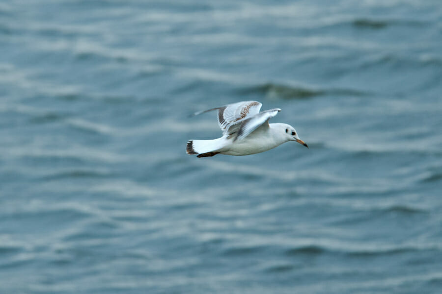 International Birdwatching Day in Moscow - gull flying