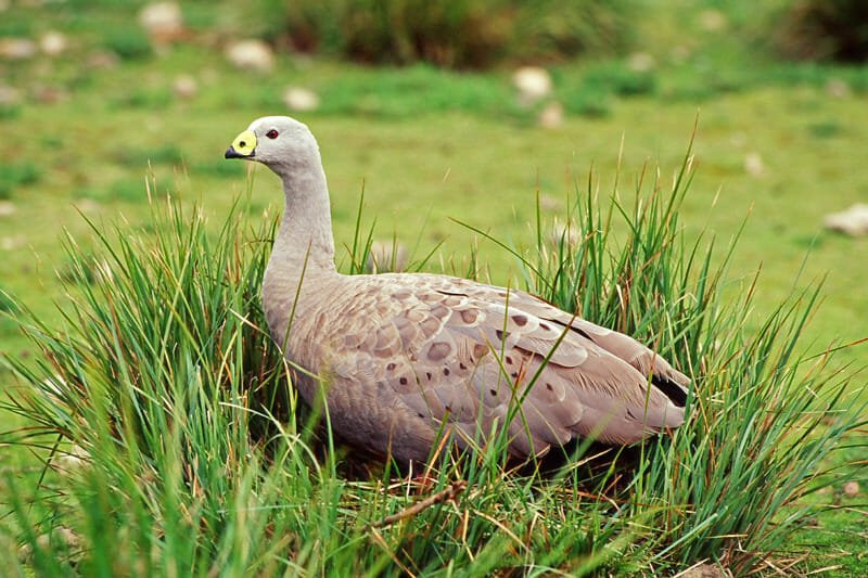 Wildlife of Kangaroo Island - Cape Barren goose