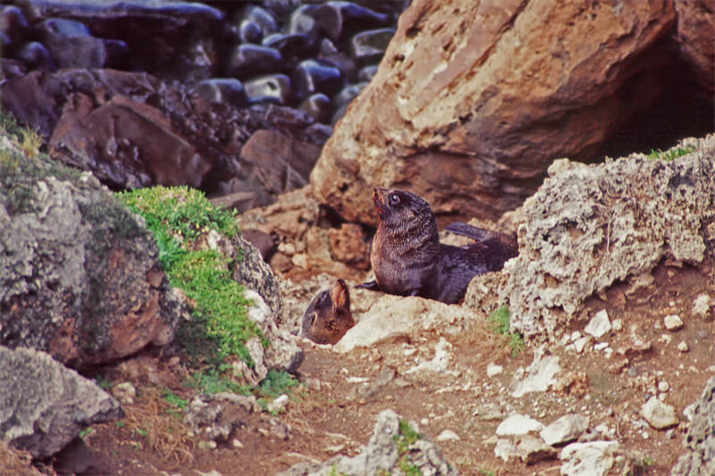 Wildlife of Kangaroo Island - New Zealand fur seals
