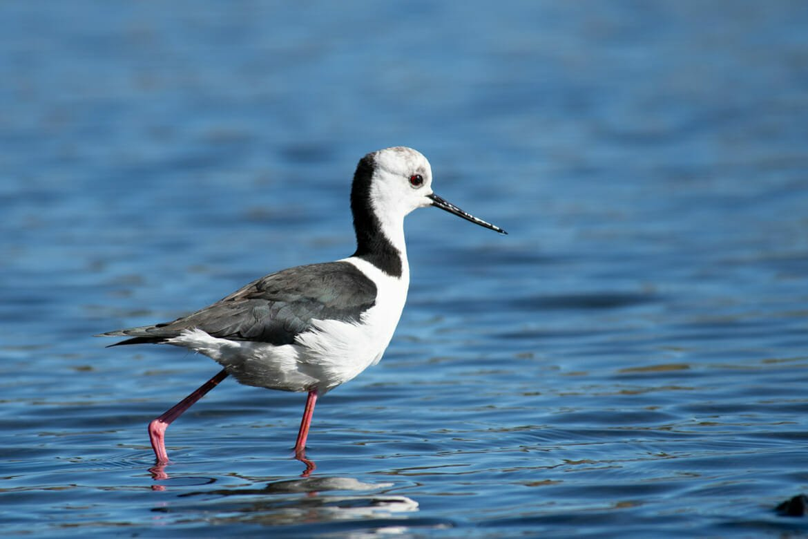 Black-winged Stilt Sydney Olympic Park