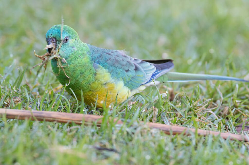 Male red-rumped parrot, Sydney