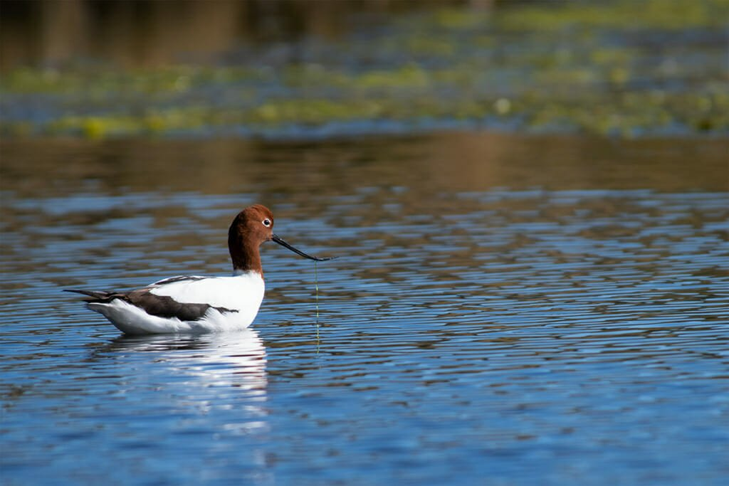 Red-necked Avocet at Sydney Olympic Park
