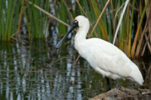 Royal Spoonbill in Sydney