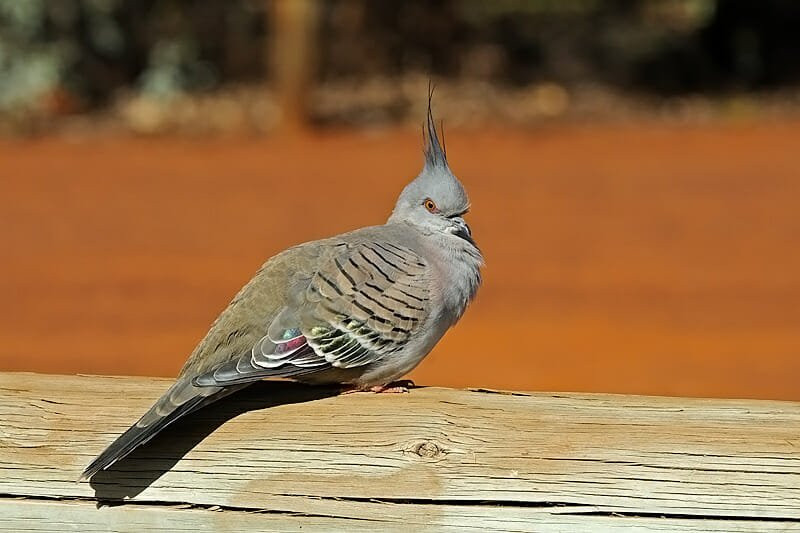 Wildlife of Uluru and the Kings Canyon - Crested pigeon