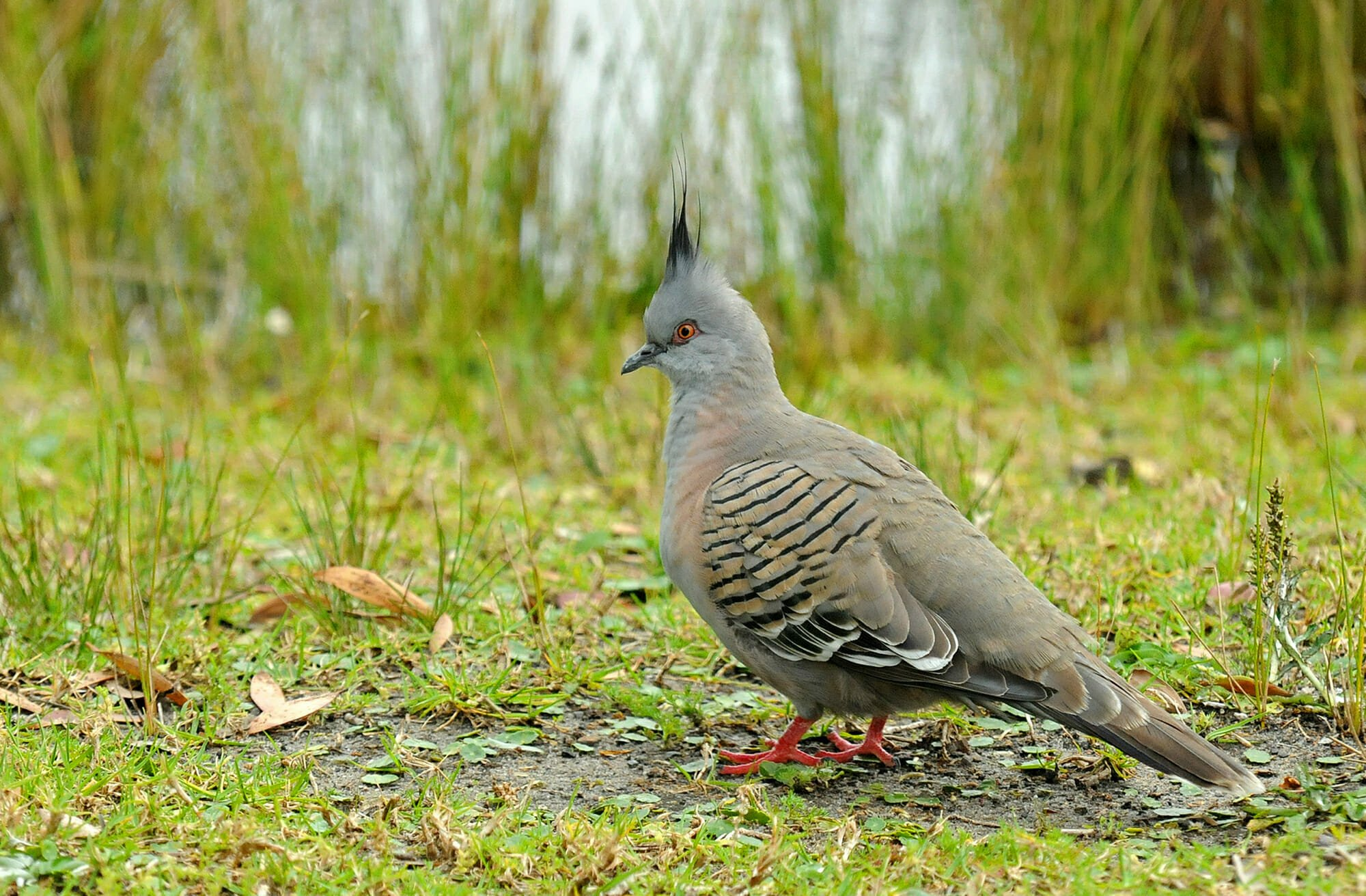 Crested pigeon in Sydney Olympic Park