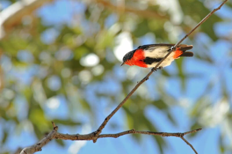 Wildlife of Uluru and the Kings Canyon - Mistletoebird