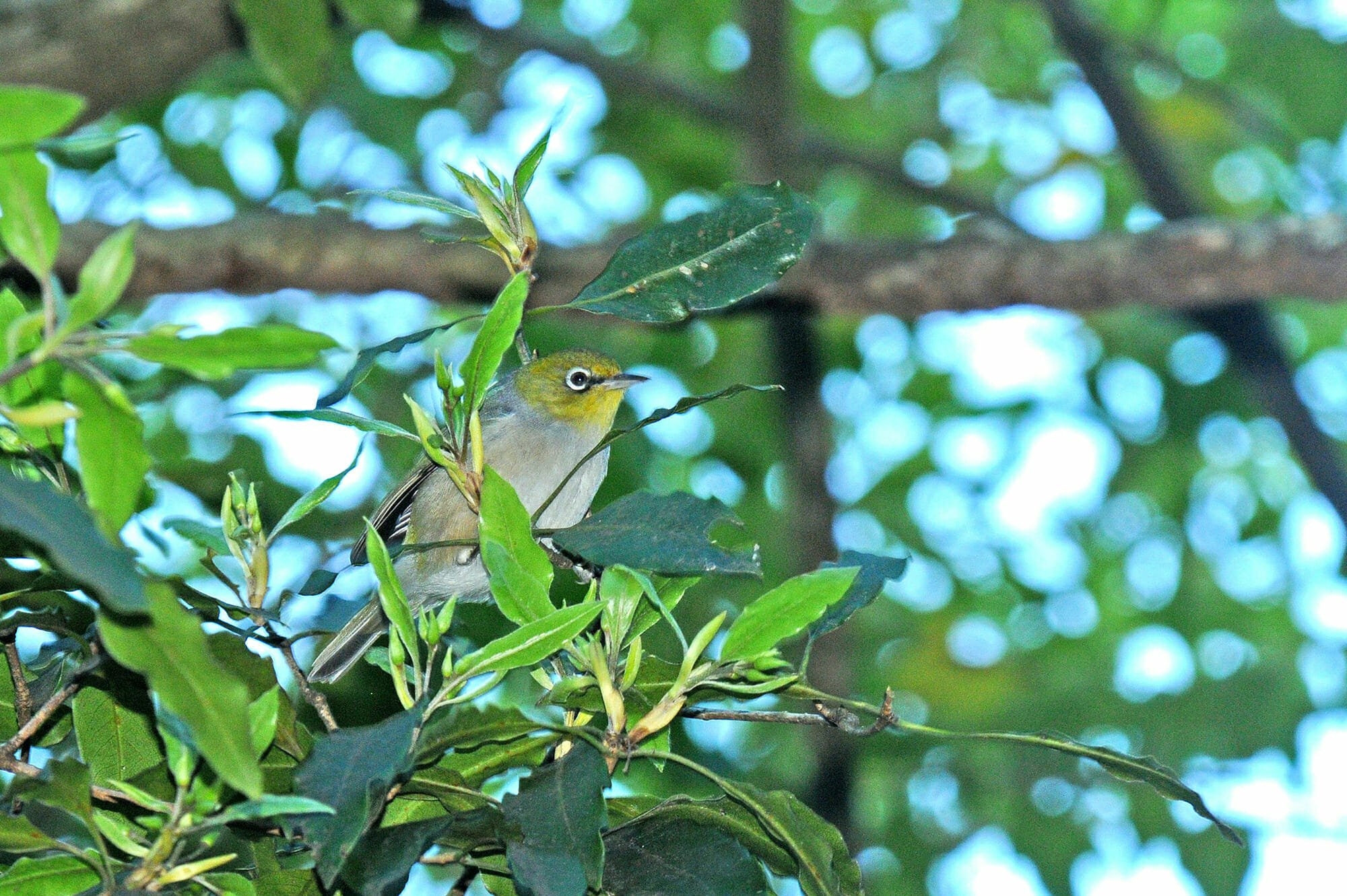Silvereye at Sydney Olympic Park