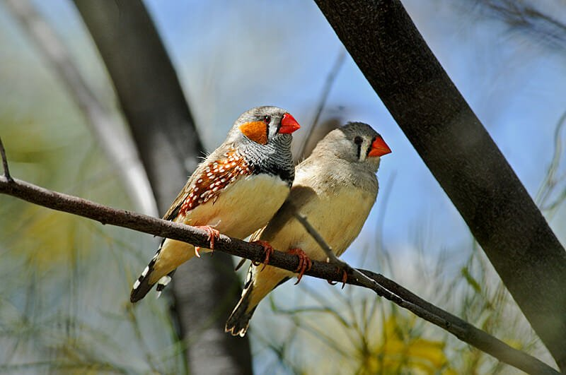 Wildlife of Uluru and the Kings Canyon - Zebra finches