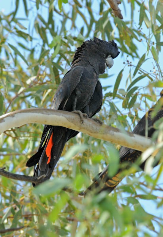red-tailed black cockatoo in west macdonnell ranges