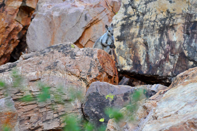 Black-footed rock wallaby in Western MacDonnell Ranges