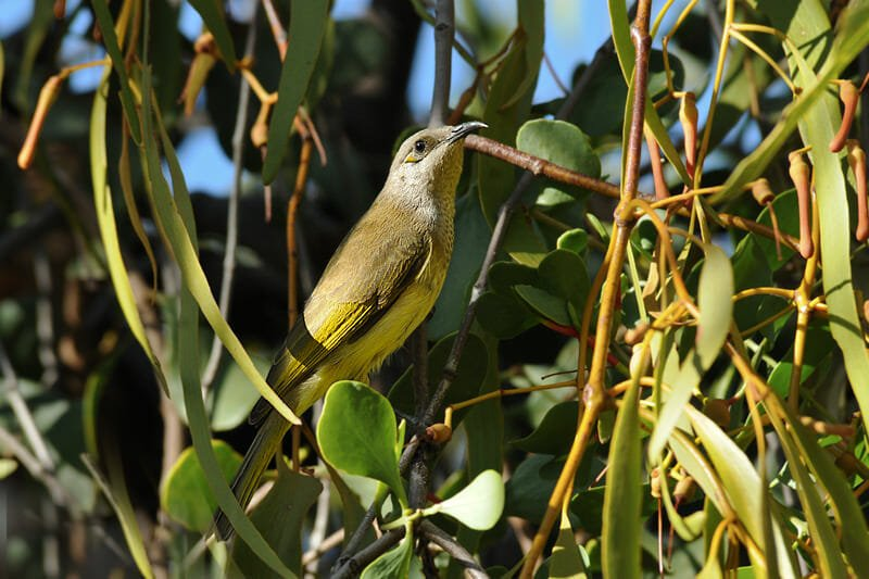Brown honeyeater in West MacDonnell Ranges