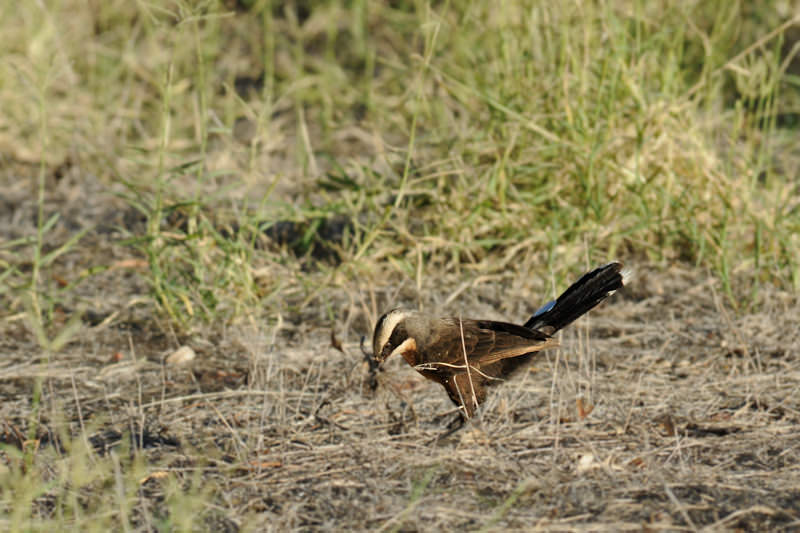 Grey-crowned babbler collecting nest material
