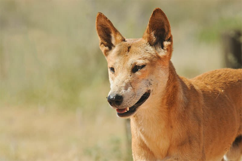 Wildlife of Devils Marbles - Dingo
