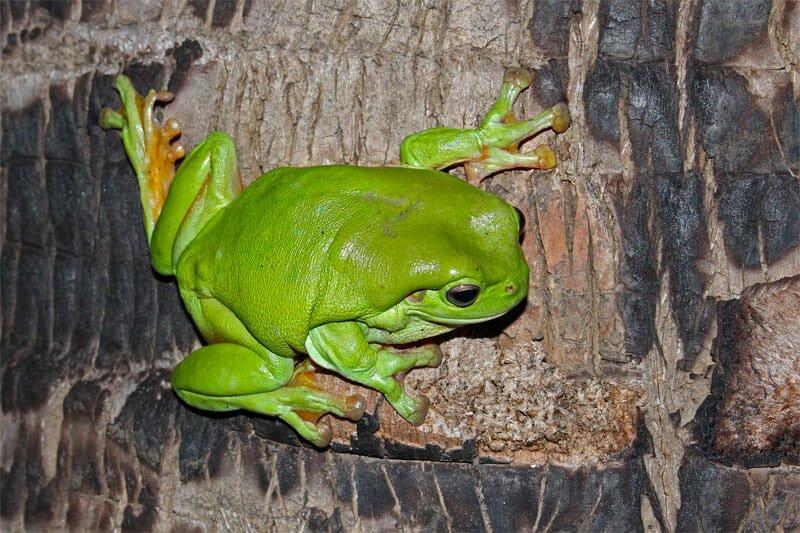 Green-tree-frog1.jpg