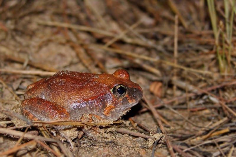 Burrowing frog