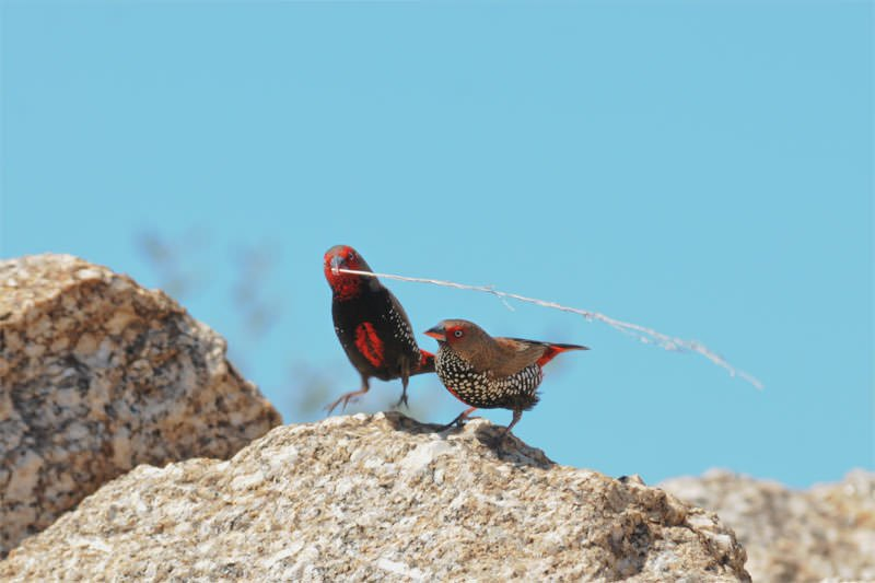 Male Painted finch performing the courtship dance