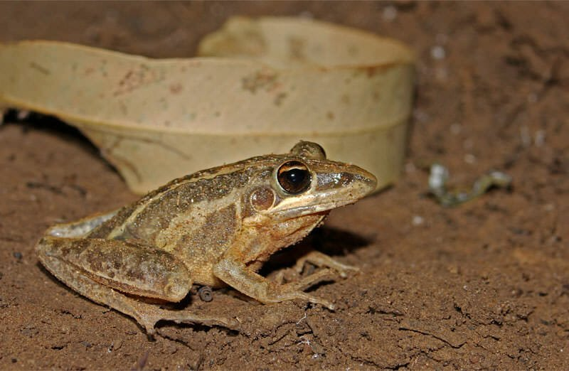 Wildlife of Mataranka - Rocket frog
