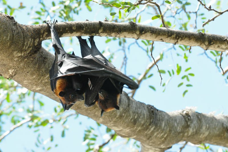 Wildlife of Katherine Gorge - Little red flying foxes